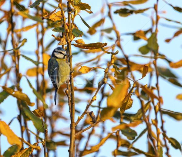 Azul teta árvore pôr do sol natureza Foto stock © Elenarts