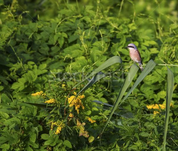 Red-backed shrike, lanius collurio, bird Stock photo © Elenarts