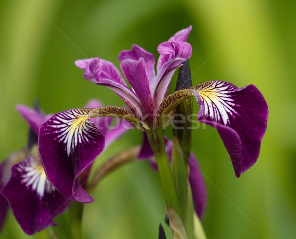 Harlequin, larger or northern blue flag, iris versicolor Stock photo © Elenarts