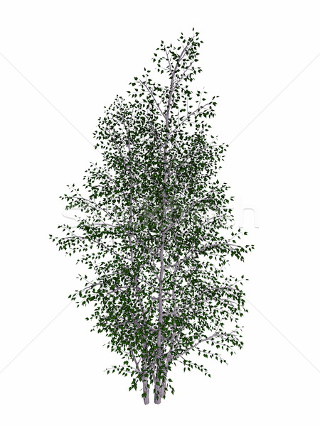 Grey birch, betula populifolia tree - 3D render Stock photo © Elenarts