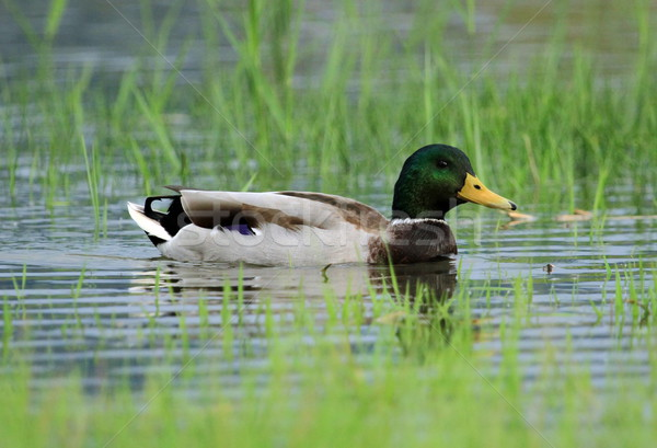 Male mallard or wild duck, anas platyrhynchos, portrait Stock photo © Elenarts