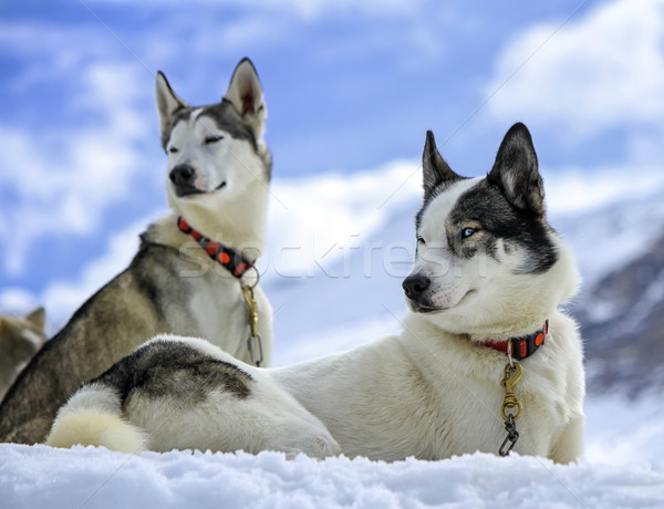 Husky dogs resting Stock photo © Elenarts