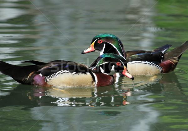 Male wood duck Stock photo © Elenarts