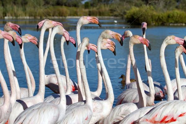 Greater flamingos, phoenicopterus roseus, Camargue, France Stock photo © Elenarts