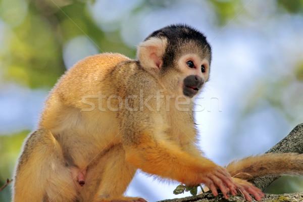 Squirrel monkey in a tree Stock photo © Elenarts