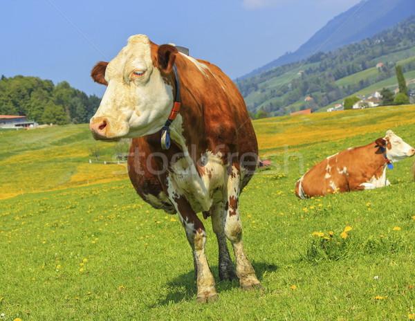 Fribourg cow resting, Switzerland Stock photo © Elenarts