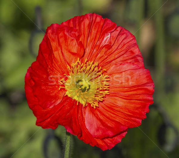 Red papaver flower Stock photo © Elenarts