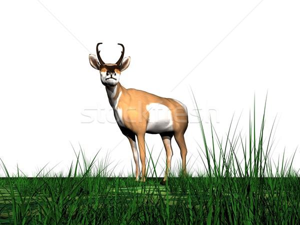 Pronghorn antelope and grass Stock photo © Elenarts