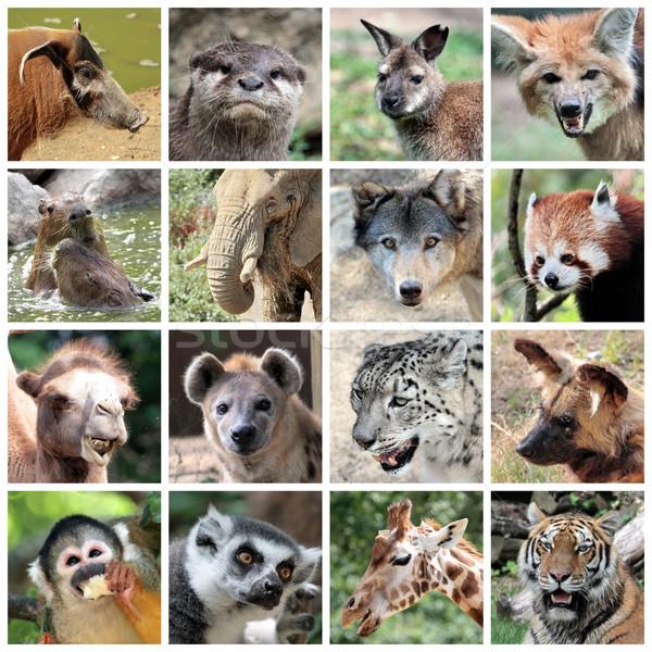 Animal mammals collage Stock photo © Elenarts