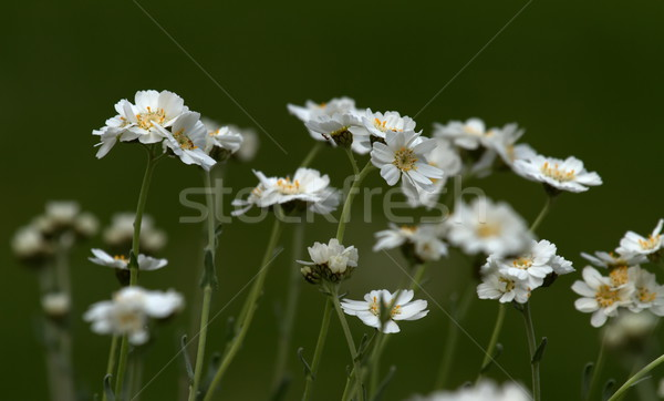 Serbian yarrow, achillea serbica Stock photo © Elenarts