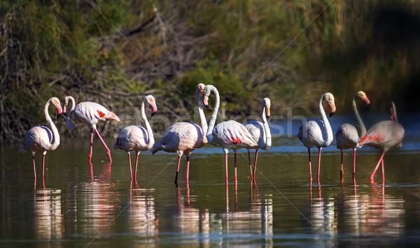 Франция фламинго Постоянный пруд природы Сток-фото © Elenarts