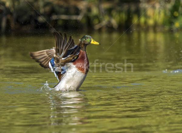 Male mallard duck shaking wings Stock photo © Elenarts