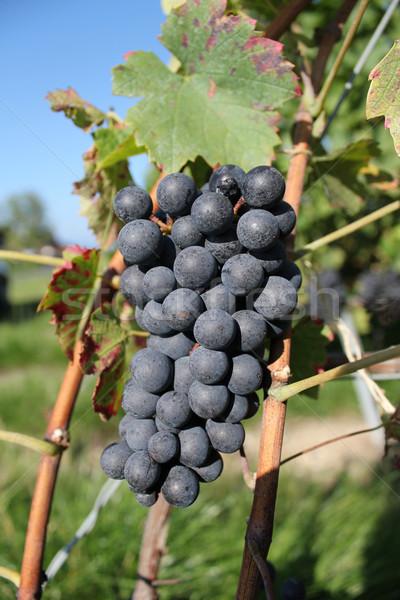 Sunny black grape Stock photo © Elenarts