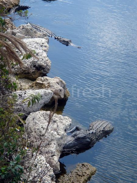 американский аллигатор живая природа Флорида два Аллигаторы Сток-фото © Elenarts