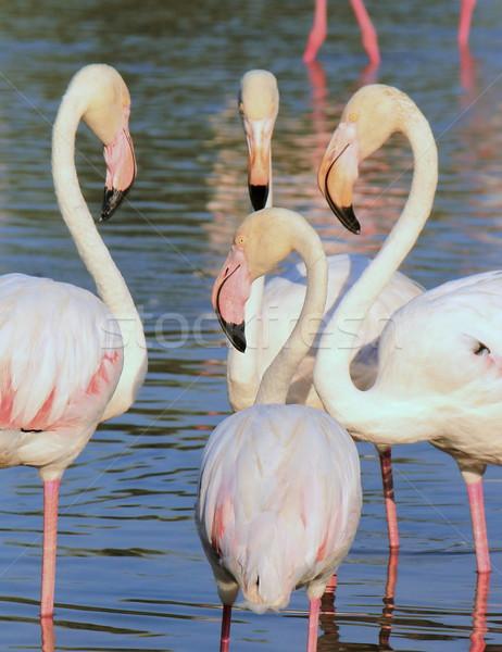 Flamingos meeting Stock photo © Elenarts