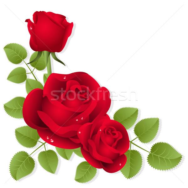 Güller üç kırmızı gül beyaz gül güzellik Stok fotoğraf © ElenaShow