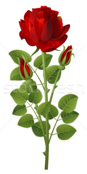 Gül kırmızı gül beyaz doğa yaprak arka plan Stok fotoğraf © ElenaShow