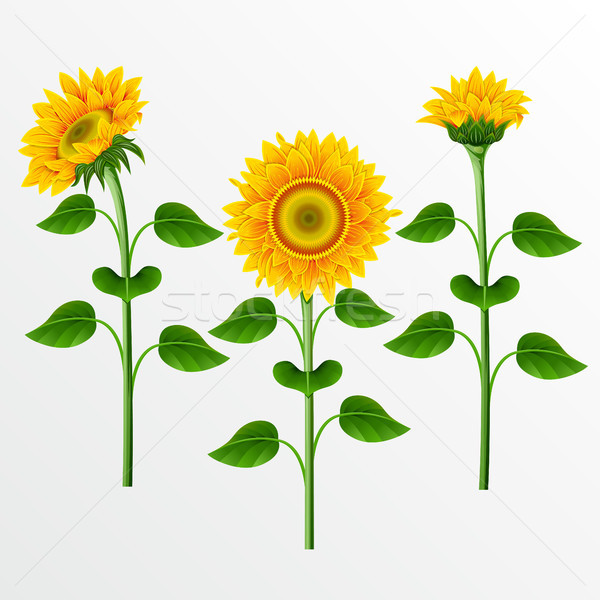 Stok fotoğraf: Toplama · ayçiçeği · sarı · beyaz · doğa · güzellik