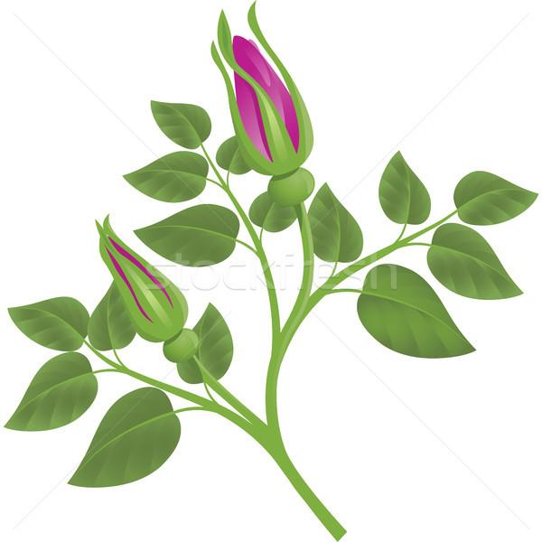 Rose bourgeon blanche design feuille Photo stock © ElenaShow