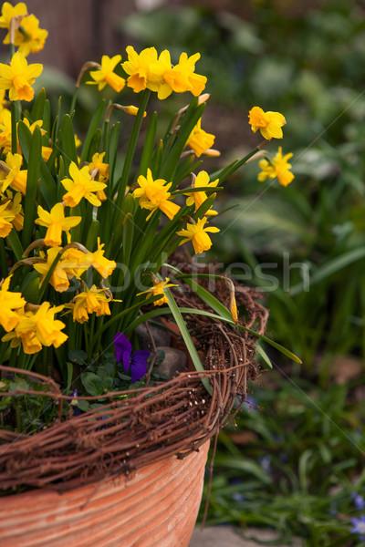 красивой весенние цветы улице банка нарциссов цветок Сток-фото © ElinaManninen