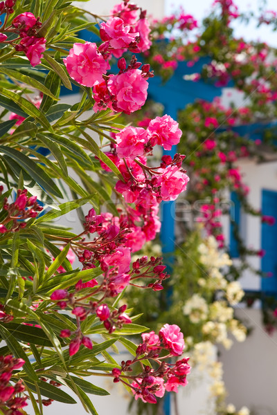 Flores santorini Grécia belo pormenor rosa Foto stock © ElinaManninen