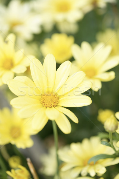 Yellow Aster Daisy Stock photo © ElinaManninen