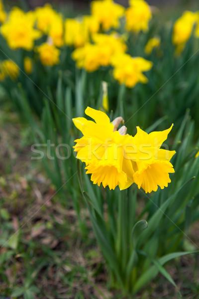 Wiosennych kwiatów charakter piękna odkryty żonkile kwiat Zdjęcia stock © ElinaManninen