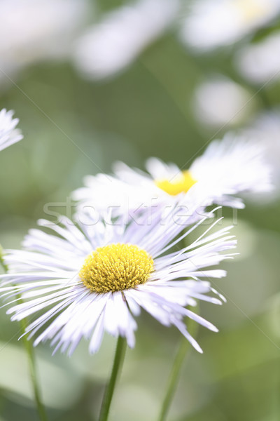 White Aster Daisy. Stock photo © ElinaManninen