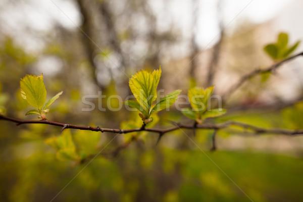 весны листьев новых растущий деревья дерево Сток-фото © ElinaManninen