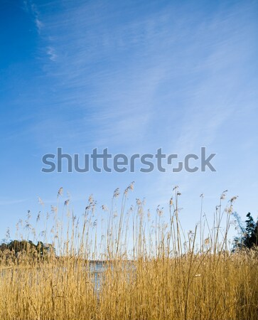 Blu sky and grass Stock photo © ElinaManninen