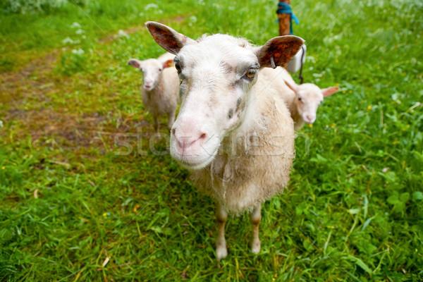Owiec zielone patrząc kamery baby twarz Zdjęcia stock © ElinaManninen