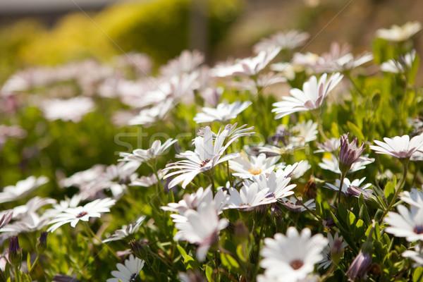 Полевые цветы весна Португалия свет счастье Сток-фото © ElinaManninen