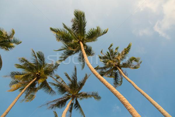 Tropicales cocotier arbres ciel bleu vue Photo stock © Elisanth