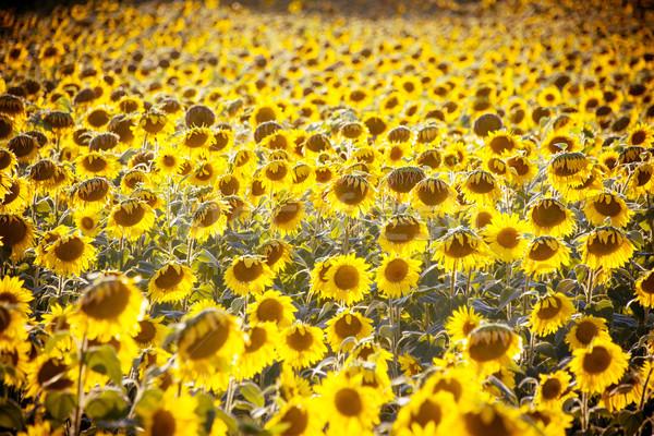 ヒマワリ フィールド 明るい 夏 日 空 ストックフォト © Elnur