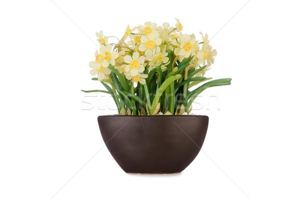 Daisy ромашка цветы изолированный белый цветок Сток-фото © Elnur