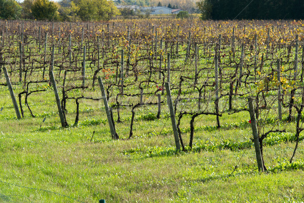 Grapes fields during winter fall autumn days Stock photo © Elnur