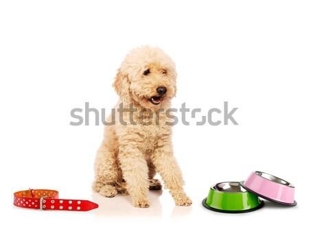 Bom poodle cão isolado branco comida Foto stock © Elnur