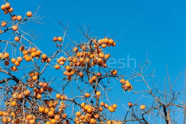 Kaki fruits arbre alimentaire nature fruits photo stock elnur amikishiyev elnur - Arbre a kaki nom ...