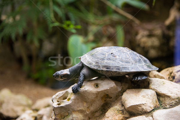 Turtle walking slowly across the field Stock photo © Elnur