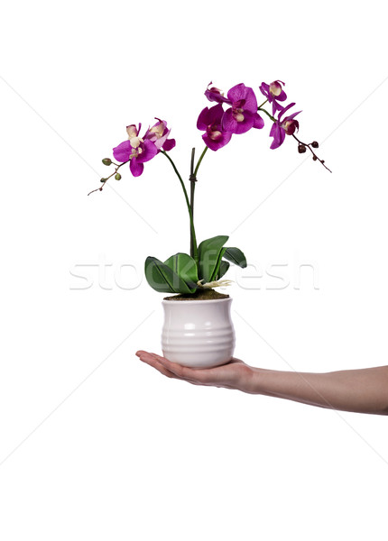 Hand holding a flower pot isolated on white Stock photo © Elnur