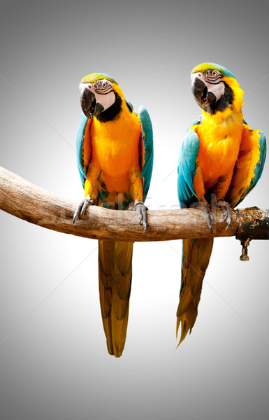 Colourful parrot bird sitting on the perch  Stock photo © Elnur