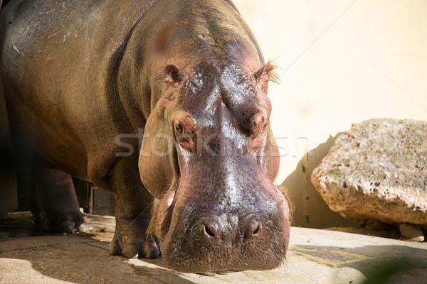 Hippo under the bright summer sun Stock photo © Elnur