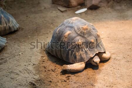 Turtle walking slowly across the field Stock photo © Elnur