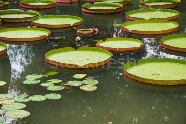 Büyük yaprakları su zambak bahar doğa Stok fotoğraf © Elnur