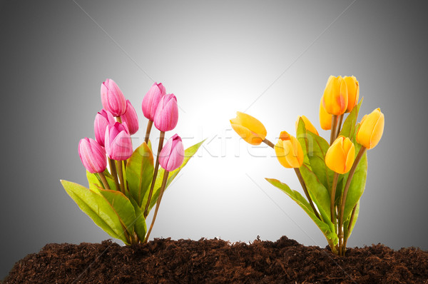 Colourful tulip flowers growing in the soil Stock photo © Elnur