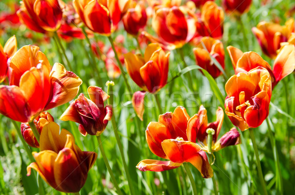 Tulip field on bright summer day Stock photo © Elnur
