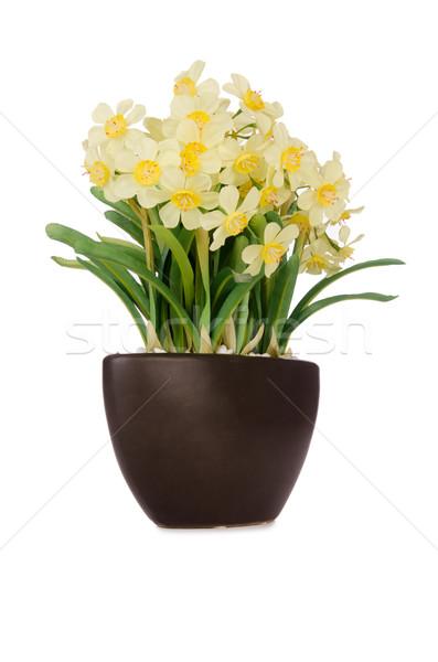 Stockfoto: Daisy · kamille · bloemen · geïsoleerd · witte · bloem