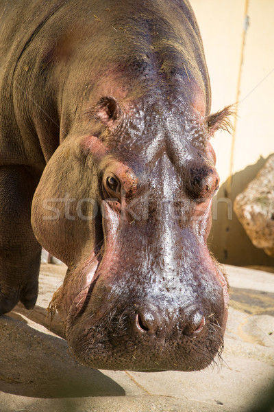 Hippo under the bright summer sun Stock photo © Elnur