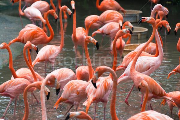 Flamingo vogels vijver water achtergrond schoonheid Stockfoto © Elnur