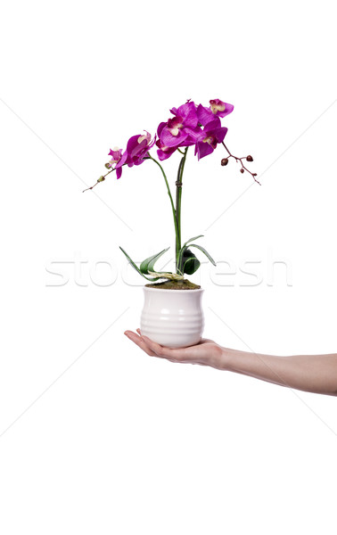 The hand holding a flower pot isolated on white Stock photo © Elnur